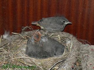 29-V pierwsze podlotki opuszczają gniazdo, choć nadal pozostaja jeszcze pod opieką rodziców.
